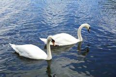 Пары белых лебедей плавая на озере Стоковое Изображение