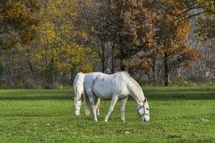 Пары белых лошадей пася в полях Стоковая Фотография