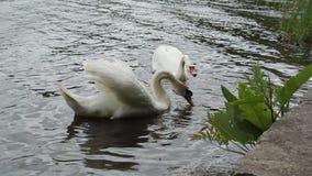 Пары белых безгласных лебедей живя на озере видеоматериал