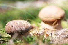 Пары белых грибов Стоковые Фотографии RF