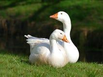 Пары белых гусынь на траве Стоковое Изображение