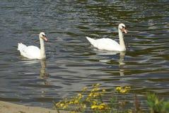 Пары белых лебедей плавая в озере Стоковая Фотография
