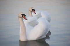 Пары белых лебедей Стоковое Фото