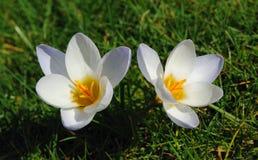 Белые крокусы Стоковые Фотографии RF