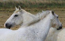 Пары белых лошадей в французе Camargue Стоковое Фото