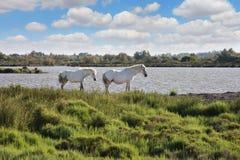 Пары белых лошадей пася в перепаде Роны, Провансали Стоковая Фотография