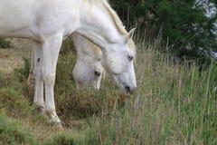 Пары белых лошадей Camargue, Франция Стоковое Изображение RF