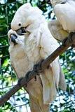 Пары белых попугаев какаду стоковая фотография