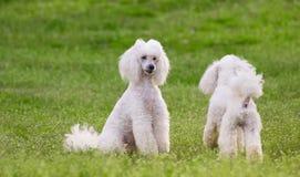 Пары 2 белых собак пуделя на поле зеленой травы Стоковые Фотографии RF