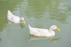 Пары белых уток Стоковое Фото