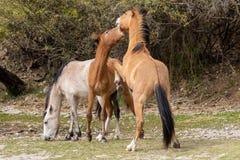 Пары боя диких лошадей Стоковые Изображения