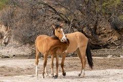 Пары боя диких лошадей Стоковые Фотографии RF