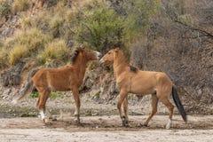 Пары боя диких лошадей Стоковые Изображения RF