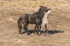 Пары боя жеребцов дикой лошади Стоковое фото RF