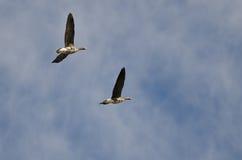 Пары больших, который Бело-противостоят гусынь летая в голубое небо Стоковая Фотография RF