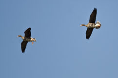 Пары больших, который Бело-противостоят гусынь летая в голубое небо Стоковые Фотографии RF
