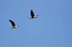 Пары больших, который Бело-противостоят гусынь летая в голубое небо Стоковые Изображения RF