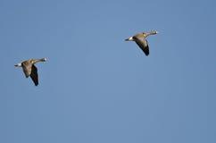 Пары больших, который Бело-противостоят гусынь летая в голубое небо Стоковая Фотография