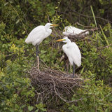 Пары больших Egrets на гнезде Стоковое Изображение