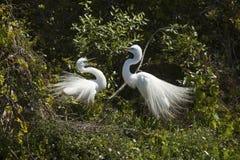 Пары больших egrets с поведением ритуала сопрягая в Флориде Стоковая Фотография
