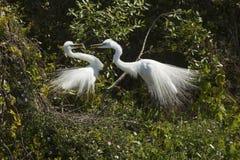 Пары больших egrets с поведением ритуала сопрягая в Флориде Стоковое Изображение RF