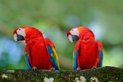 Пары большой ары шарлаха попугая, Ara Макао, 2 птиц сидя на ветви, Бразилии Сцена влюбленности живой природы от троповой природы  Стоковое Фото