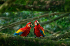 Пары большой ары шарлаха попугая, Ara Макао, 2 птиц сидя на ветви, Бразилии Сцена влюбленности живой природы от троповой природы  Стоковое Изображение RF