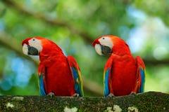 Пары большой ары шарлаха попугая, Ara Макао, 2 птиц сидя на ветви, Бразилии Сцена влюбленности живой природы от троповой природы  Стоковые Изображения RF