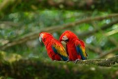 Пары большой ары шарлаха попугая, Ara Макао, 2 птиц сидя на ветви, Коста-Рика Сцена влюбленности живой природы от тропового natur Стоковое Изображение RF