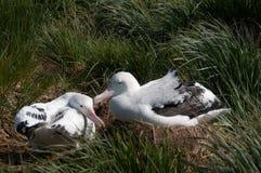 Пары бродяжничая альбатроса стоковое фото rf