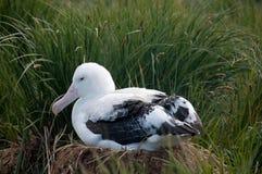 Пары бродяжничая альбатроса стоковая фотография