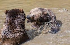 Пары бурого медведя прижимаясь в воде Игра 2 бурых медведей в воде Стоковое Изображение