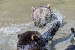Пары бурого медведя прижимаясь в воде Игра 2 бурых медведей в воде Стоковая Фотография RF