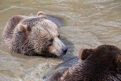 Пары бурого медведя прижимаясь в воде Игра 2 бурых медведей в воде Стоковые Изображения