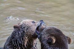 Пары бурого медведя прижимаясь в воде Игра 2 бурых медведей в воде Стоковое Изображение RF