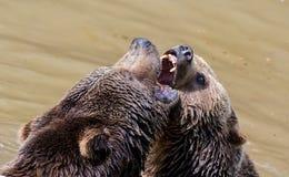 Пары бурого медведя прижимаясь в воде Игра 2 бурых медведей в воде Стоковые Изображения RF