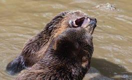 Пары бурого медведя прижимаясь в воде Игра 2 бурых медведей в воде Стоковое Фото