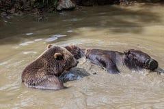 Пары бурого медведя прижимаясь в воде Игра 2 бурых медведей в воде Стоковое фото RF