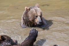 Пары бурого медведя прижимаясь в воде Игра 2 бурых медведей в Стоковое Изображение RF