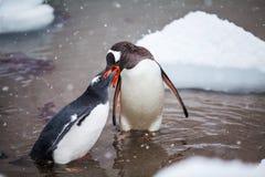 Пары взрослого симпатичного пингвина в воде, Антарктики Gentoo Стоковые Изображения