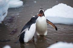 Пары взрослого симпатичного пингвина в воде, Антарктики Gentoo Стоковое Изображение RF