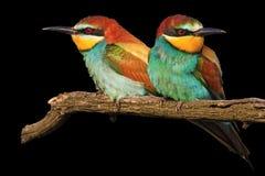 Пары влюбленности в птицах изолированных на черноте Стоковая Фотография