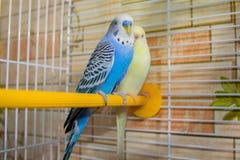 Пары волнистых попугаев в клетке стоковые фотографии rf