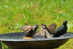 Пары воробья дома в ванне птицы Стоковая Фотография RF