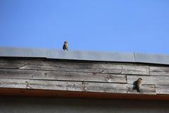 Пары воробья дома на крыше Стоковые Фотографии RF