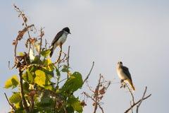 Пары восточных Kingbirds Стоковые Изображения RF