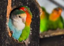 Пары волнистых попугайчиков Стоковые Фото