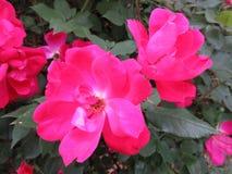 Пары в мае розовые Стоковые Изображения