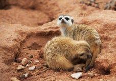 Пары в meerkats влюбленности Стоковые Изображения RF