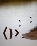 Пары гаваиских ходулочников Стоковое Изображение